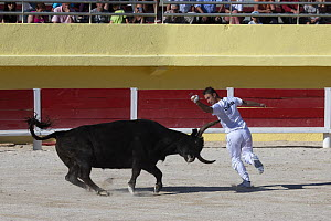Course Camarguaise bullfight, a traditional bullfight which does not kill or harm the bulls. Young men try to snatch ropes from the horns of the bull. Arles, Camargue, France,  May.  -  David  Pattyn