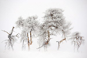 Trees in Hautes Fagnes Nature Reserve in winter after snowfall. This area - Noir Flohay was burnt a few years ago and some trees are still blackened, Hautes Fagnes, Belgian Ardennes, Belgium, February...  -  David  Pattyn