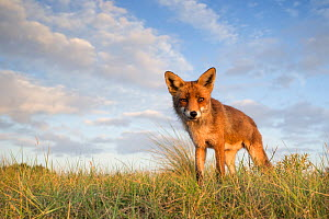 Red fox (Vulpes vulpes) in grassland, The Netherlands, July. - David  Pattyn