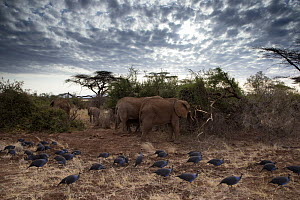 Vulturine guineafowl (Acryllium vulturinum) group passing in front of elephants (Loxodonta africana) Samburu Game Reserve, Kenya, Africa, August. - David  Pattyn