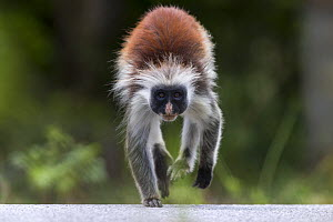 Zanzibar red colobus monkey (Procolobus kirkii) crossing the main road through the Reserve, Jozani forest,  Jozani Chwaka Bay NP, Zanzibar, Tanzania, August. - David  Pattyn