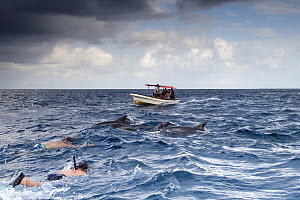 Children snorkelling in the sea and swimming with bottlenose dolphins  (Tursiops truncatus)  with boat approaching. Indian Ocean, Zanzibar, Tanzania, August 2014. - David  Pattyn