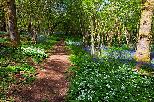 Footpath through Garston Wood RSPB reserve with Bluebell (Hyacinthoides non-scripta) and Ramsons (Allium ursinum) near Shaftesbury, Dorset, UK May  -  Mike Read