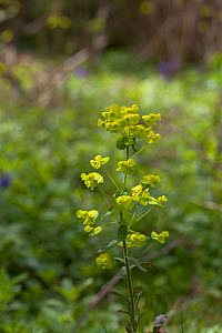Wood spurge (Euphorbia amygdaloides) Garston Wood RSPB reserve near Shaftesbury, Dorset UK May  -  Mike Read