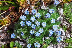 Alpine forget-me-not (Myosotis asiatica) Bear Tooth Pass, Wyoming USA June - Mike Read