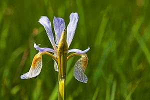 Rocky mountain iris (Iris missouriensis) Lamar Valley, Yellowstone National Park, Wyoming June - Mike Read