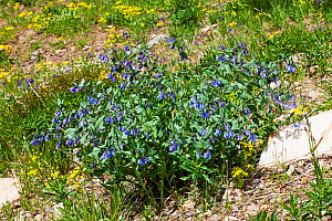 Narrowleaf bluebells (Mertensia lanceolata) in alpine meadow near Mount Washburn, The Grand Loop, Yellowstone National Park, Wyoming USA June  -  Mike Read