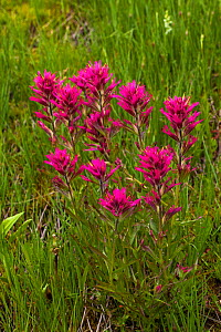 Alpine paintbrush (Castelleja rhexifolia) among grasses at roadside, The Grand Loop, Yellowstone National Park, Wyoming USA June  -  Mike Read