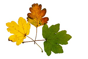 Field maple (Acer campestre) three different coloured leaves on lightbox, Ringwood, Hampshire, UK October  -  Mike Read