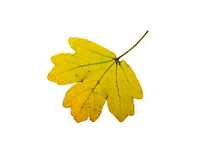 Field maple (Acer campestre) individual leaf on lightbox, Ringwood, Hampshire, UK October  -  Mike Read