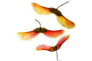 Norway maple (Acer platanoides) seeds on lightbox, Ringwood, Hampshire, UK October  -  Mike Read