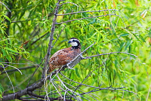 Northern bobwhite (Colinus virginianus) perched in tree, Quivira National Wildlife Refuge, Stafford County, Kansas, USA July  -  Mike Read