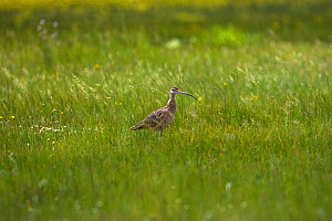Long-billed curlew (Numenius americanus) amongst grasses, Red Rocks Lake National Wildlife Refuge, Centennial Valley, Montana, USA June  -  Mike Read