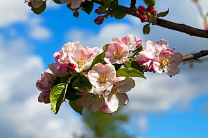 Apple blossom (Malus domestica) in an allotment, Ringwood, Hampshire, UK April - Mike Read