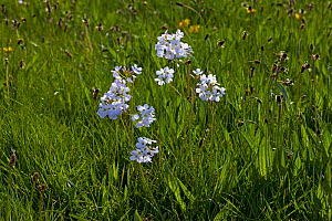 Cuckoo flower (Cardamine pratensis) and Ribwort plaintain (Plantago lanceolata) flowering in water meadows, Ringwood, Hampshire, UK April  -  Mike Read