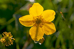 Marsh marigold (Caltha palustris) close up of flower, water meadows in Ringwood, Hampshire, UK May  -  Mike Read