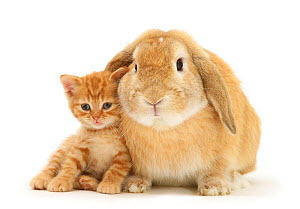 British Shorthair kitten with sandy Lop rabbit. NOT AVAILABLE FOR BOOK USE - Jane Burton