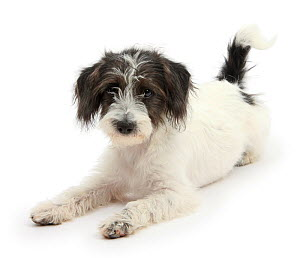 Black-and-white Jack-a-poo, Jack Russell cross Poodle pup, age 4 months, sitting.  -  Mark Taylor
