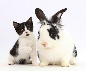 Black-and-white kitten, Loona, age 11 weeks, with black-and-white rabbit, Bandit. NOT AVAILABLE FOR BOOK USE - Mark Taylor