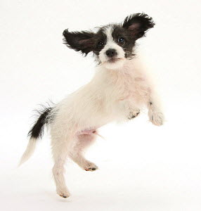 Black and white Jack-a-poo, Jack Russell cross Poodle, pup, 8 weeks old, jumping up.  -  Mark Taylor