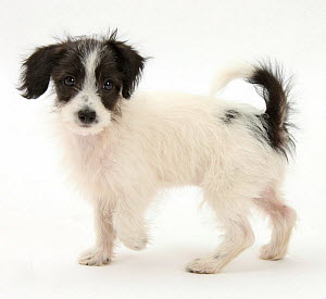 Black and white Jack-a-poo, Jack Russell cross Poodle pup, age 8 weeks.  -  Mark Taylor