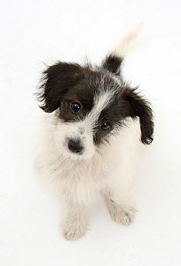 Black and white Jack-a-poo dog, Jack Russell cross Poodle pup, 8 weeks old, sitting.  -  Mark Taylor