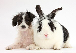 Black-and-white Jack-a-poo, Jack Russell cross Poodle puppy age 8 weeks, with black and white rabbit. NOT AVAILABLE FOR BOOK USE - Mark Taylor