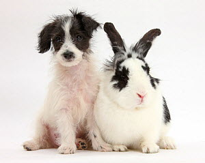 RF- Black-and-white Jack-a-poo, Jack Russell cross Poodle puppy age 8 weeks, with fluffy black and white rabbit. NOT AVAILABLE FOR BOOK USE (This image may be licensed either as rights managed or roya... - Mark Taylor