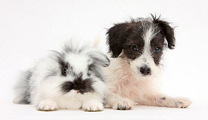 Black-and-white Jack-a-poo, Jack Russell cross Poodle puppy age 8 weeks, with fluffy black and white rabbit. NOT AVAILABLE FOR BOOK USE - Mark Taylor