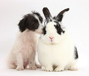 Black-and-white Jack-a-poo, Jack Russell cross Poodle dog pup, age 8 weeks, and black and white rabbit. NOT AVAILABLE FOR BOOK USE - Mark Taylor