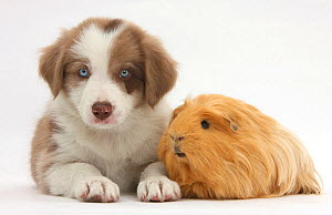 Lilac Border collie puppy and guinea pig. NOT AVAILABLE FOR BOOK USE  -  Mark Taylor