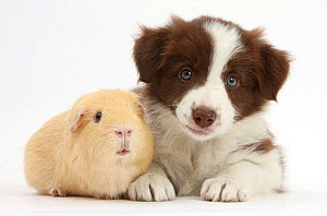 Chocolate Border collie puppy, age 7 weeks and guinea pig. NOT AVAILABLE FOR BOOK USE  -  Mark Taylor