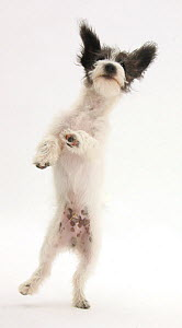 Black-and-white Jack-a-poo, Jack Russell cross Poodle puppy leaping up.  -  Mark Taylor