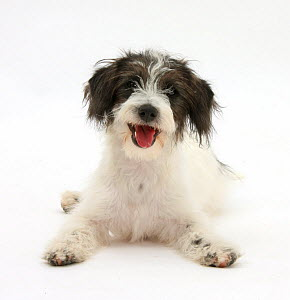 Black-and-white Jack-a-poo, Jack Russell cross Poodle puppy,  -  Mark Taylor