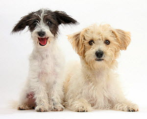 Black-and-white Jack-a-poo, Jack Russell cross Poodle puppy, age 4 months with Bichon Frise x Jack Russell.  -  Mark Taylor