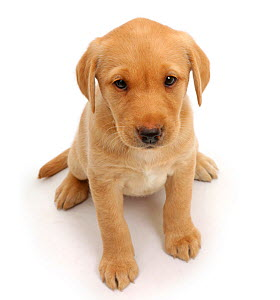 RF- Yellow Labrador puppy, age 8 weeks, sitting and looking up. (This image may be licensed either as rights managed or royalty free.)  -  Mark Taylor