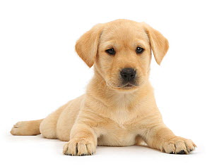 Yellow Labrador Retriever puppy, age 9 weeks, lying with head up.  -  Mark Taylor