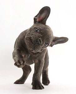 French bulldog with head on side and paw raised.  -  Mark Taylor