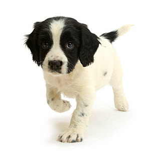 Black-and-white Springer Spaniel puppy, age 6 weeks. - Mark Taylor