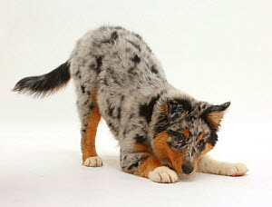 Australian Shepherd pup, age 16 weeks, in play-bow stance. - Mark Taylor