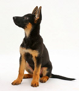 RF- German Shepherd Dog puppy, age 8 weeks, looking up. (This image may be licensed either as rights managed or royalty free.)  -  Mark Taylor