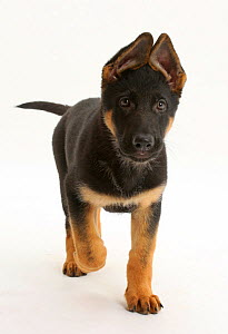 German Shepherd Dog puppy, age 8 weeks, walking.  -  Mark Taylor