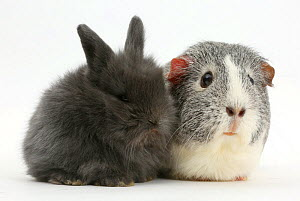 Young rabbit and guinea pig. NOT AVAILABLE FOR BOOK USE  -  Mark Taylor
