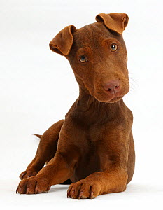 Patterdale terrier dog puppy, Korka, age 4 months.  -  Mark Taylor