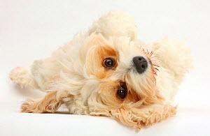 Cavachon bitch (Bichon frise cross Cavalier King Charles Spaniel) Frazzle, 4 years old, lying on side.  -  Mark Taylor