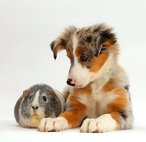Tricolour merle Collie puppy, Indie,  age 10 weeks, with silver-and-white Guinea pig. NOT AVAILABLE FOR BOOK USE  -  Mark Taylor