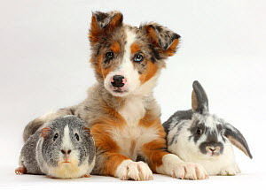 Tricolour merle Collie puppy, Indie, age 10 weeks, with Guinea pig and Rabbit. NOT AVAILABLE FOR BOOK USE  -  Mark Taylor