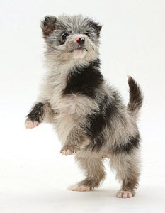 RF- ChiPoo puppy, Chihuahua cross Poodle, Roxy, age 12 weeks, standing on hind legs. (This image may be licensed either as rights managed or royalty free.) - Mark Taylor