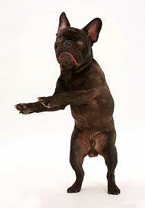 French Bulldog, Bentley, standing on hind legs.  -  Mark Taylor