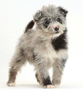 ChiPoo puppy, Chihuahua cross Poodle, Roxy, age 12 weeks, standing. - Mark Taylor